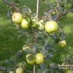 Beauty of Moray Apple