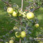 Beauty of Moray Apple