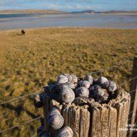Isle of Barra Snails