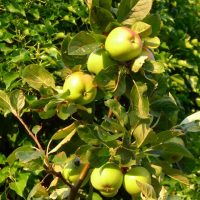 James Grieve Apple