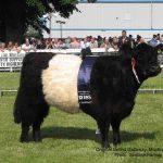 Original Belted Galloway Cattle