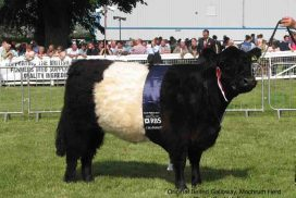 Original Belted Galloway Cattle