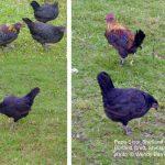 Papa Stour Shetland Hen