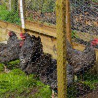 Scots Grey Hen