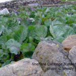 Shetland Cabbage
