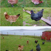 Tappit Shetland Hen