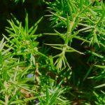 Wild Scottish Juniper