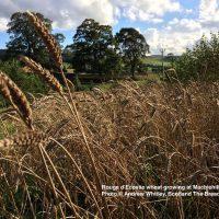 Rouge d'Ecosse Wheat