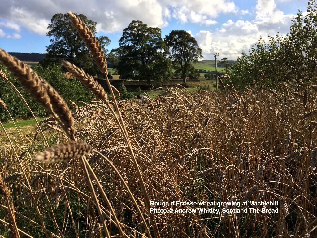 Rouge-dEcosse-wheat-at-Macbiehill2