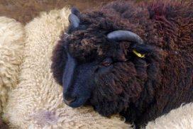 Briggs' Native Shetland Lamb