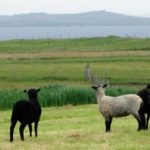 Briggs' Native Shetland Lamb & Mutton