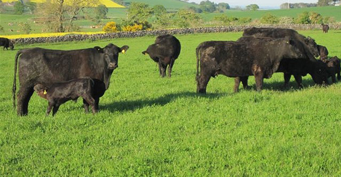 Hardiesmill-Cattle-Summer-2012
