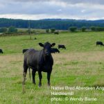 Native Bred Aberdeen Angus