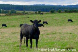 Native Bred Aberdeen Angus