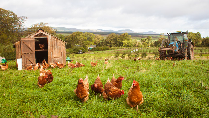 whitmuir-hens