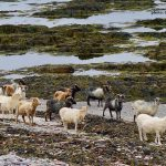 North Ronaldsay Sheep (Mutton)