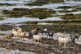 North Ronaldsay Sheep (Mutton)