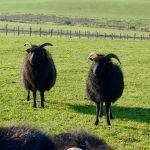 Ardoch Hebridean Sheep