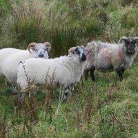 Boreray Sheep: The Orkney Boreray