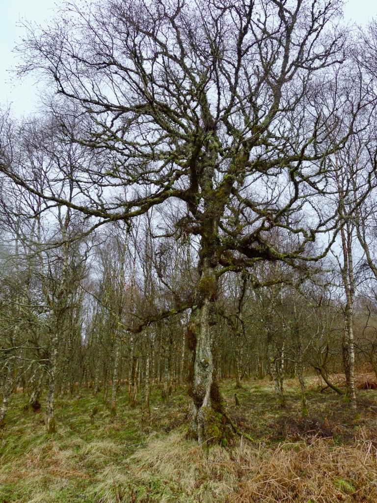 birken-tree
