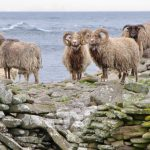 From Island to Plate: North Ronaldsay Mutton, Scotland's First Presidium